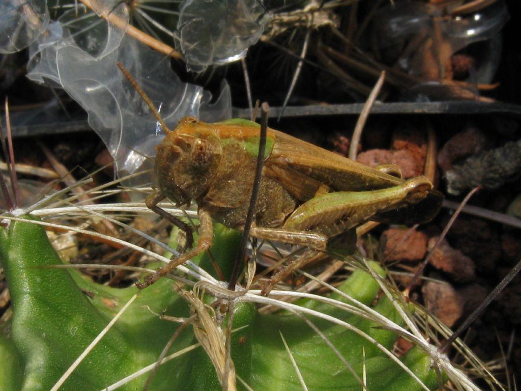 Acridiidae: cfr.Aiolopus strepens (da confermare)