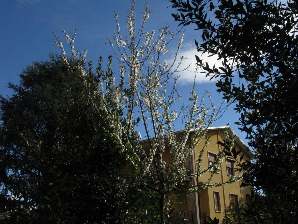 Prunus da ident.