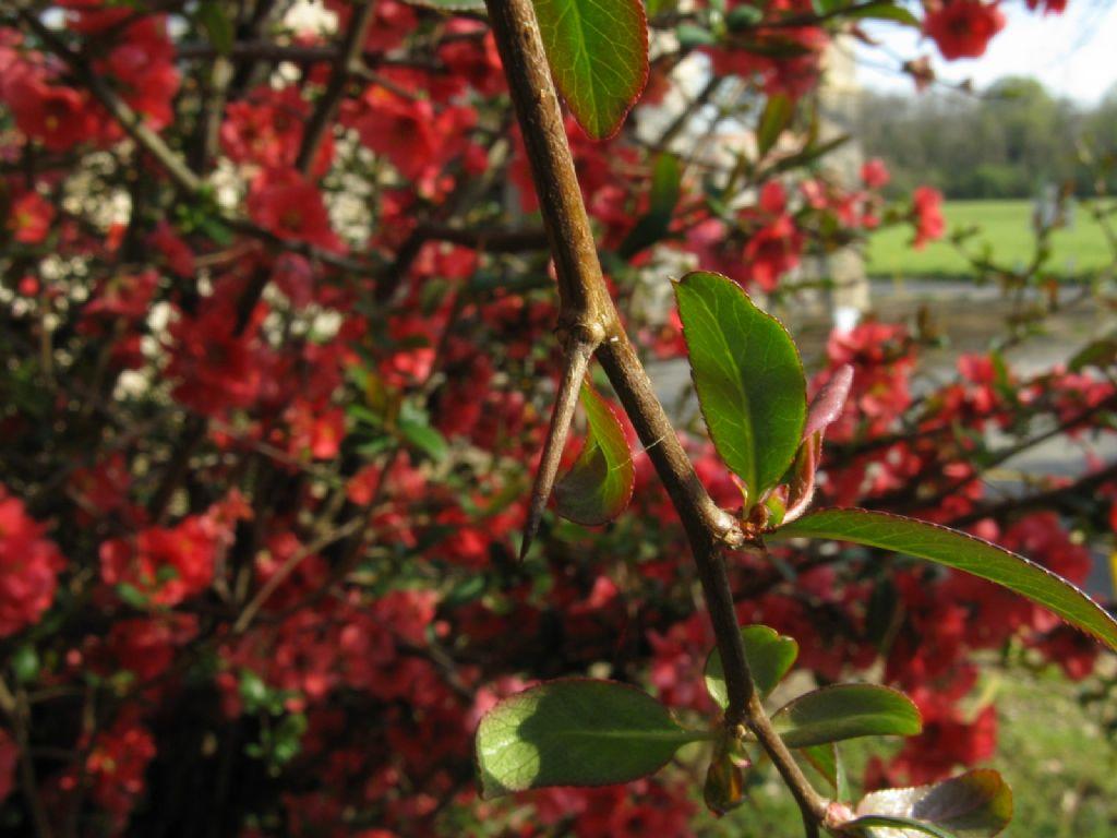 Chaenomeles cfr. speciosa (Rosaceae)