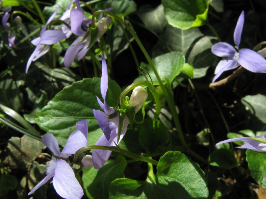 Viola riviniana