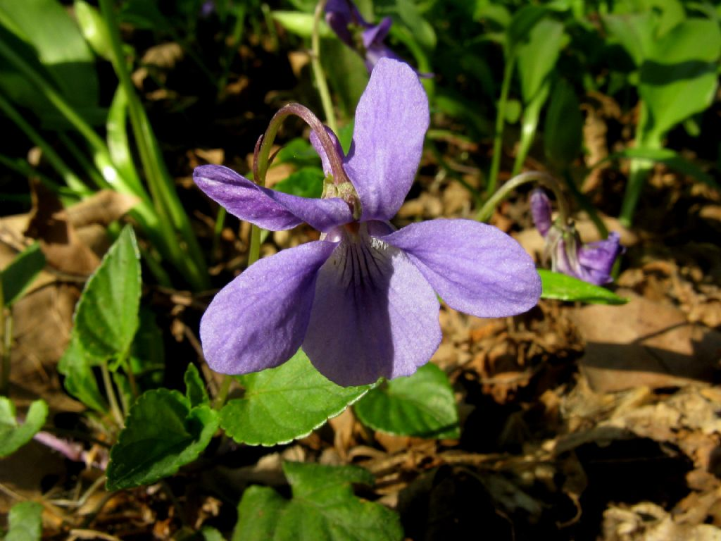 Viola reichenbachiana.