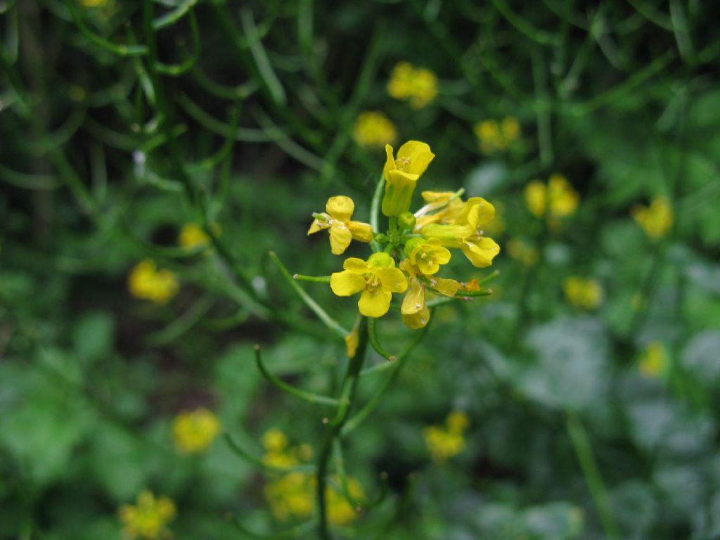 Brassicaceae: Barbarea vulgaris?  Sì