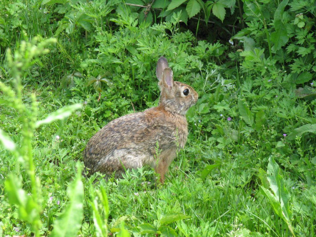 Coniglio...? Coniglio selvatico (Oryctolagus cuniculus)