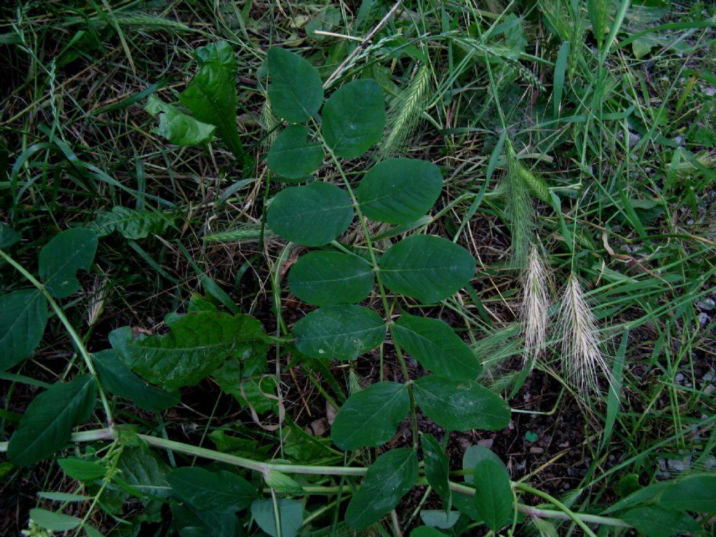 Astragalus glycyphyllos? Sì