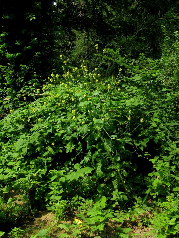 Barbarea vulgaris? No, cfr. Sinapis sp.