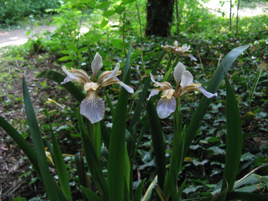 Iris pseudacorus? No, Chamaeiris foetidissima (Iridaceae)