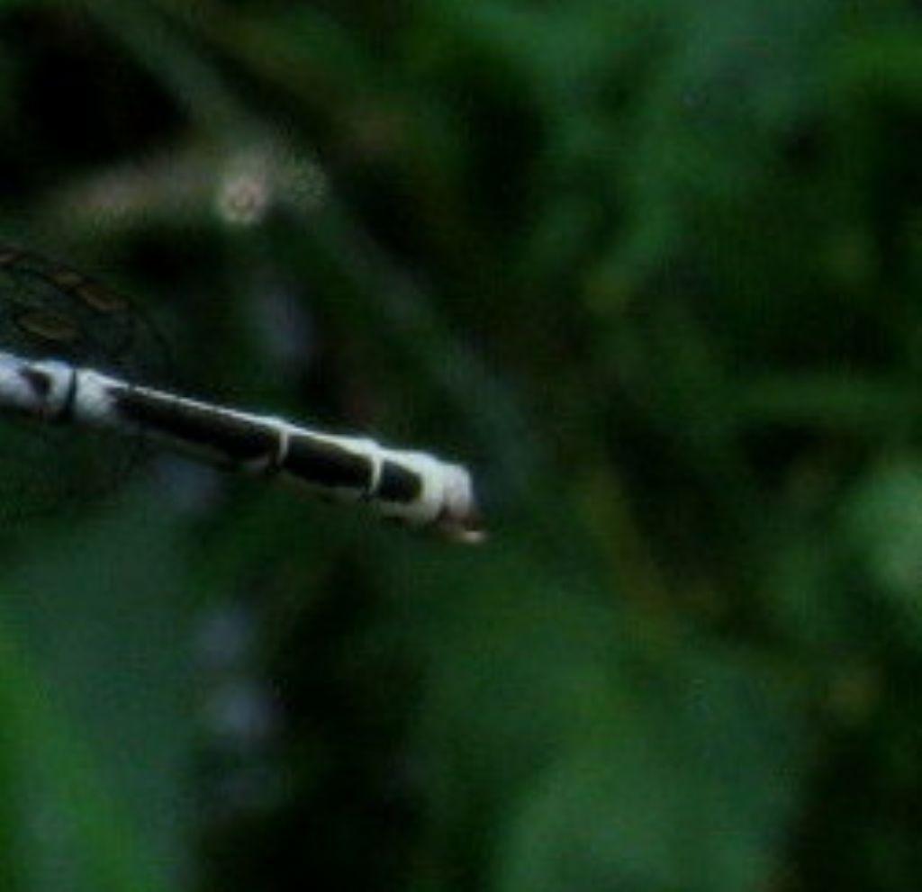 Platycnemis pennipes:colorazione variabile