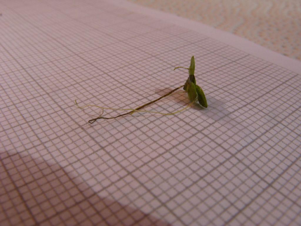 Lemna minor (Araceae)
