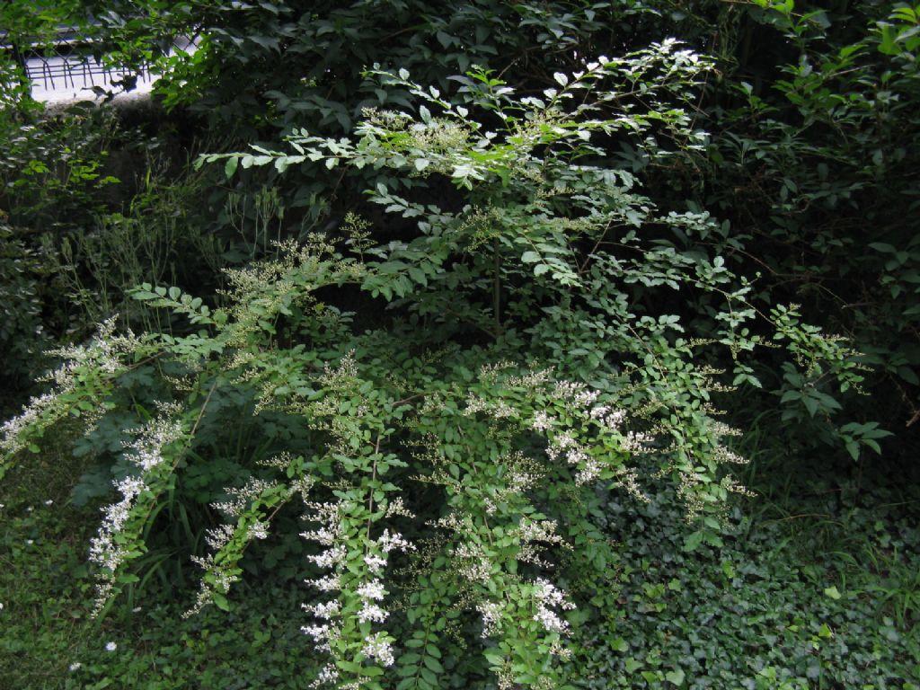 Ligustrum? Sì, Ligustrum sinense (Oleaceae)