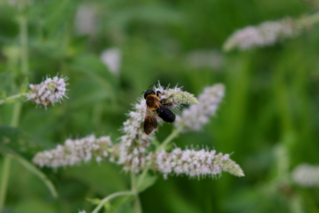 Megachile sculpturalis (Apidae Megachilinae)