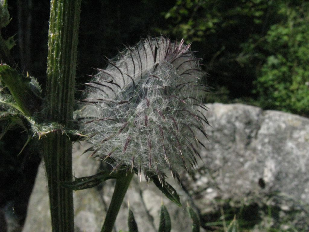 Cirsium...? Cirsium eriophorum