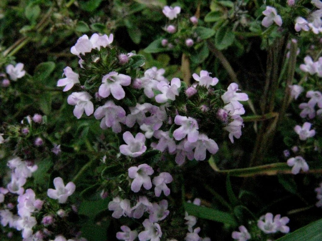 Origano...? No, Thymus sp.
