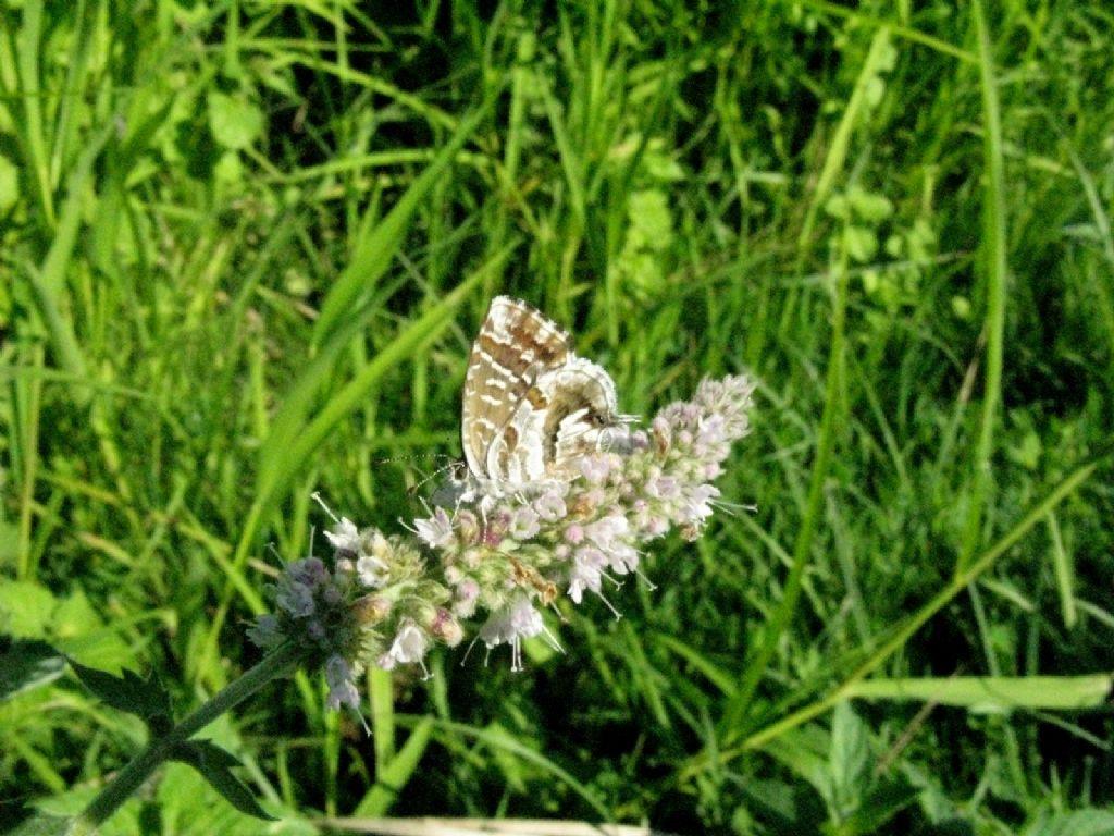 Cacyreus marshalli - Lycaenidae