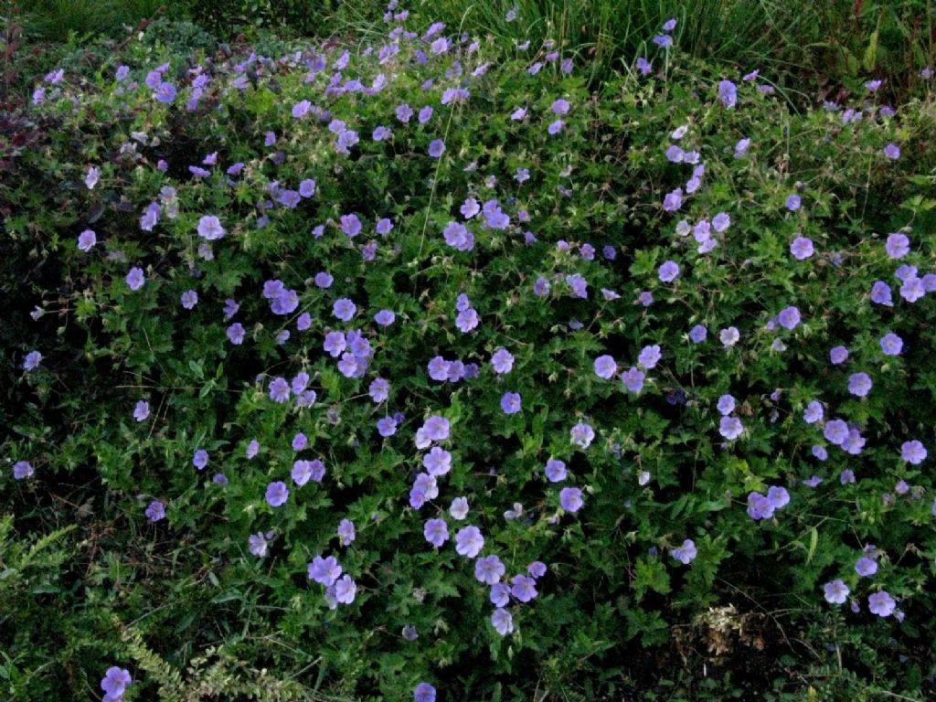Geranium? Ibrido cv di Geranium pratense o himalayense