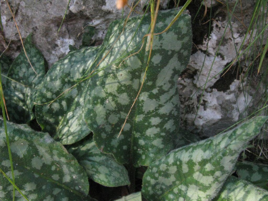 Pulmonaria officinalis (Boraginaceae)