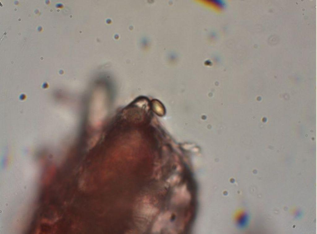 Polyporacea dai Roeri
