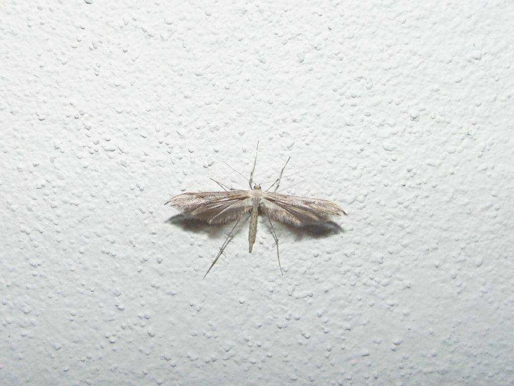 id Pterophoridae?