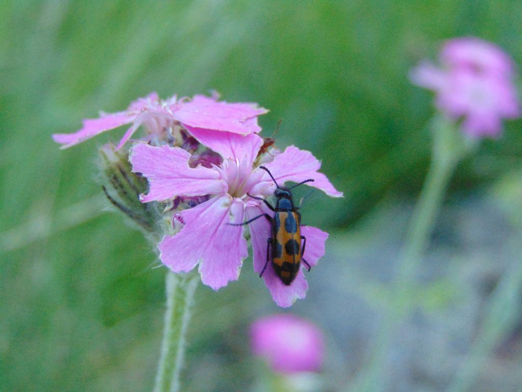 Meloidae: Mylabris? Sì, M. flexuosa
