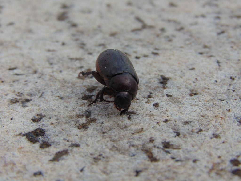 Melolonthidae: cfr. Aplidia sp.