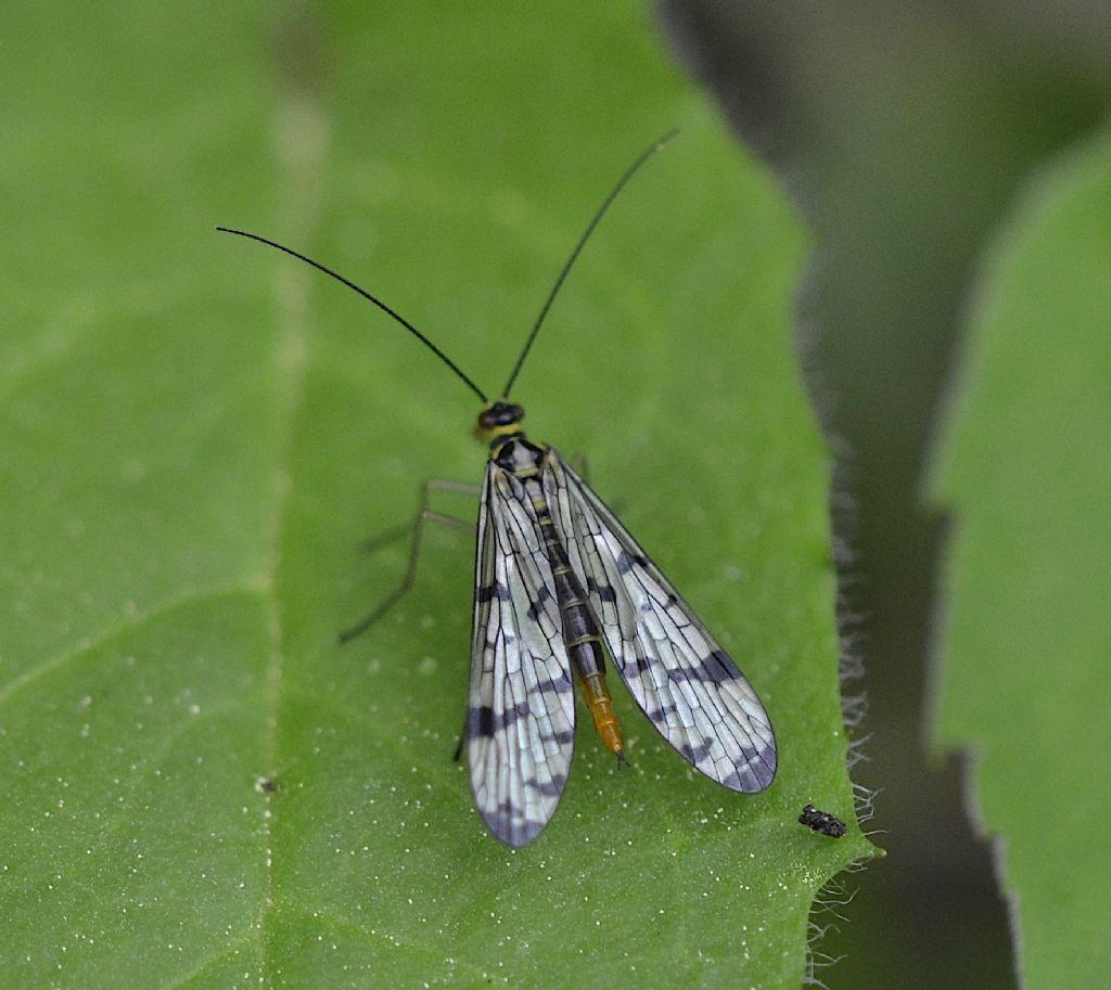 Panorpa vulgaris femmina?  No, Panorpa communis, femmina