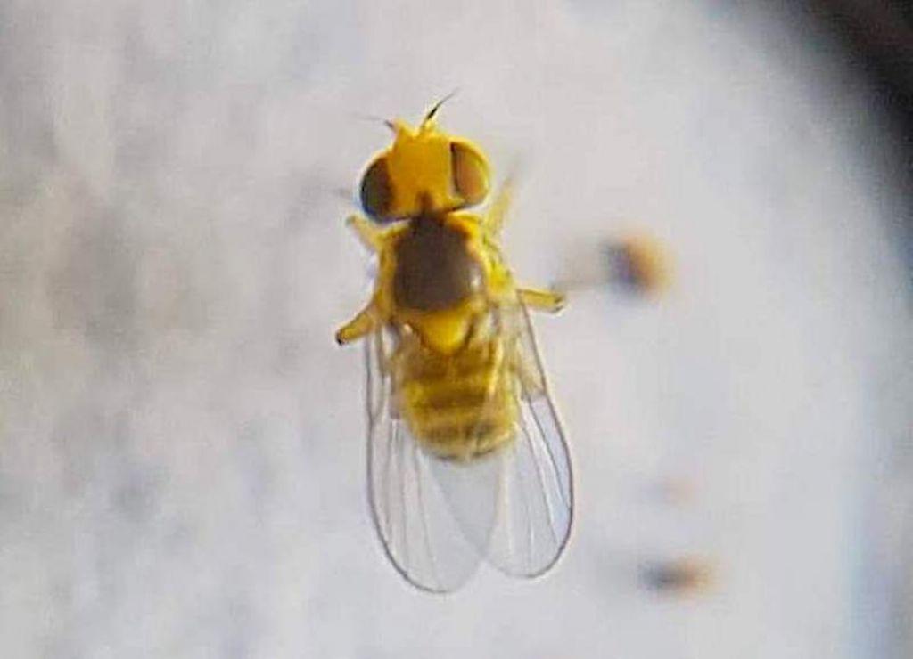 Liriomyza trifolii