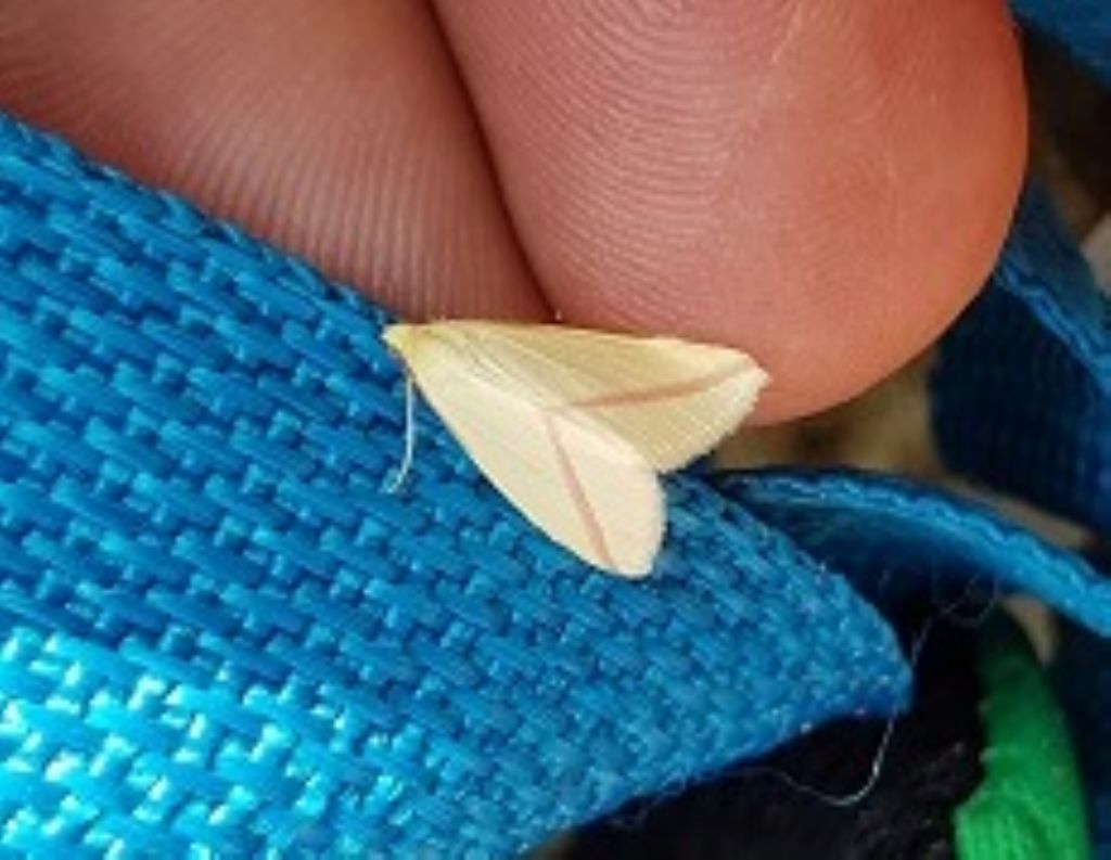 Rhodometra sacraria (Geometridae)