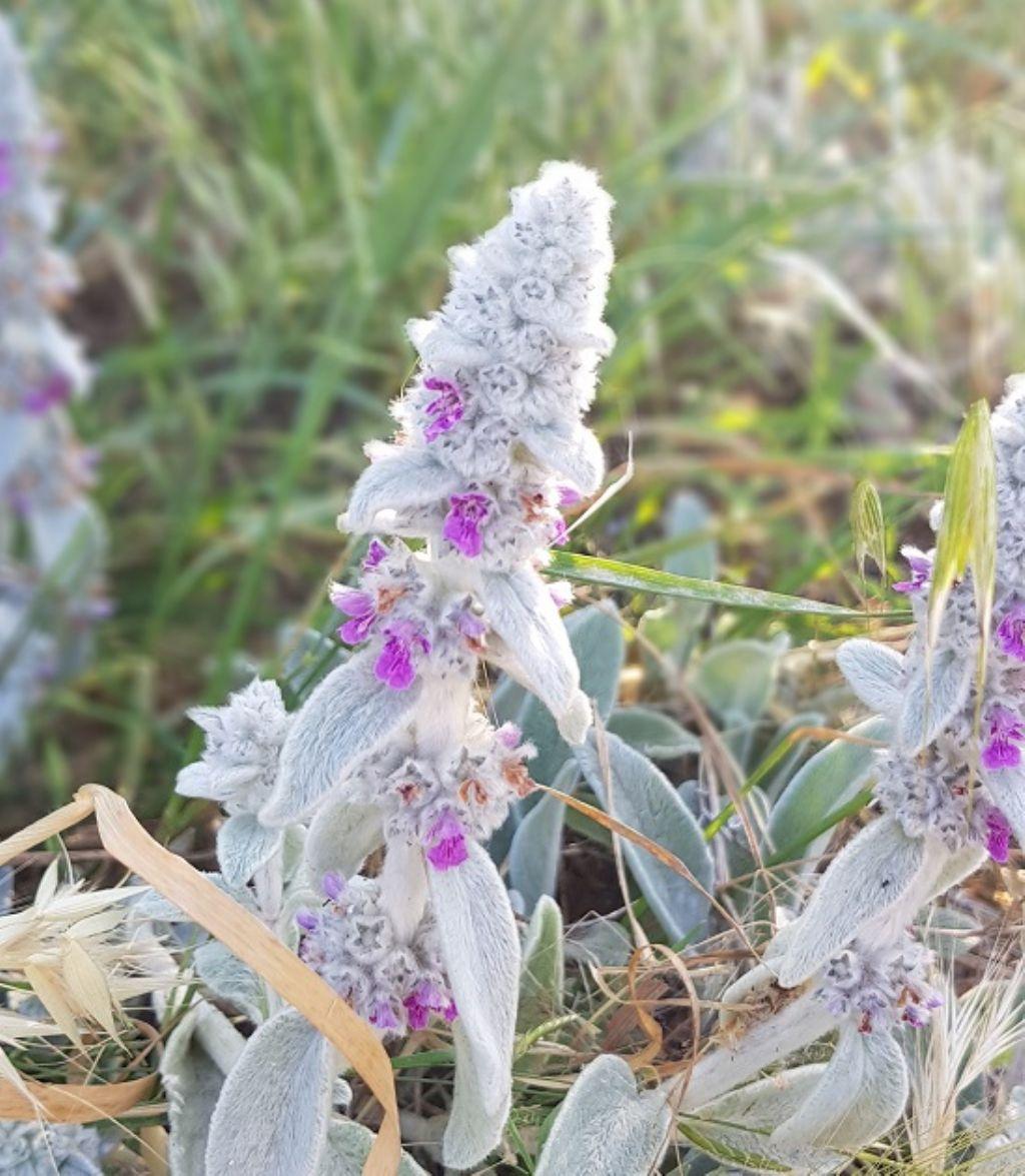 Stachys byzantina (Lamiaceae)