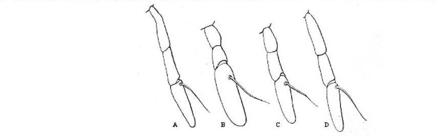 Syrphidae: Chrysotoxum arcuatum