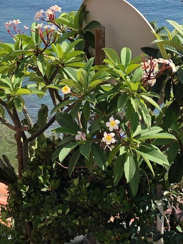 Plumeria rubra (Apocynaceae)