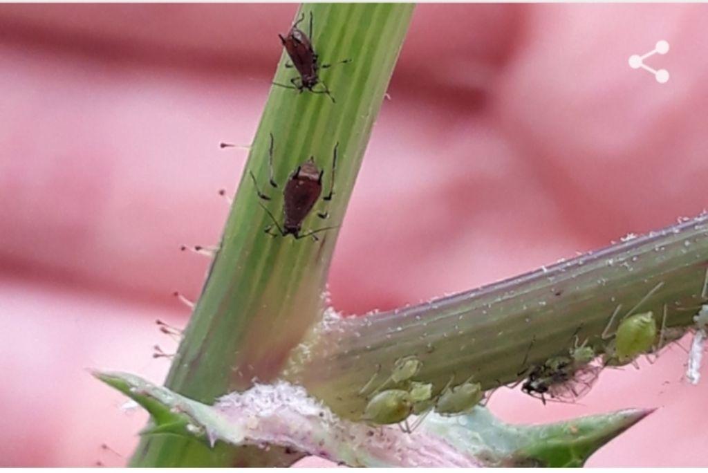 Aphididae: cfr. (Uroleucon sp.  e Hyperomyzus sp.)