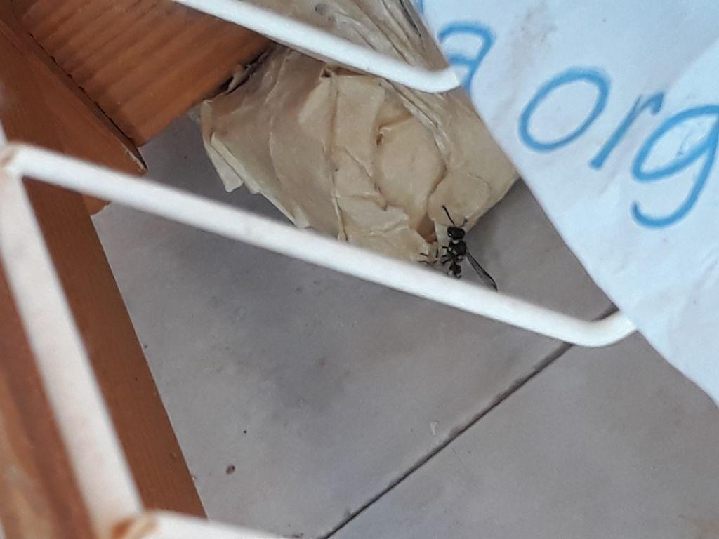 Vespa (Vespidae Eumeninae) che scava nel vaso. Preoccupante? No, cerca fango per il nido