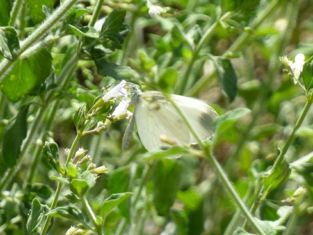 Pieris rapae? No, Leptidea sinapis - Pieridae