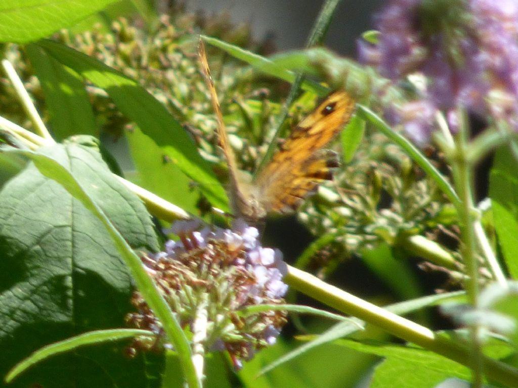 Lasiommata maera? No, Lasiommata megera - Nymphalidae