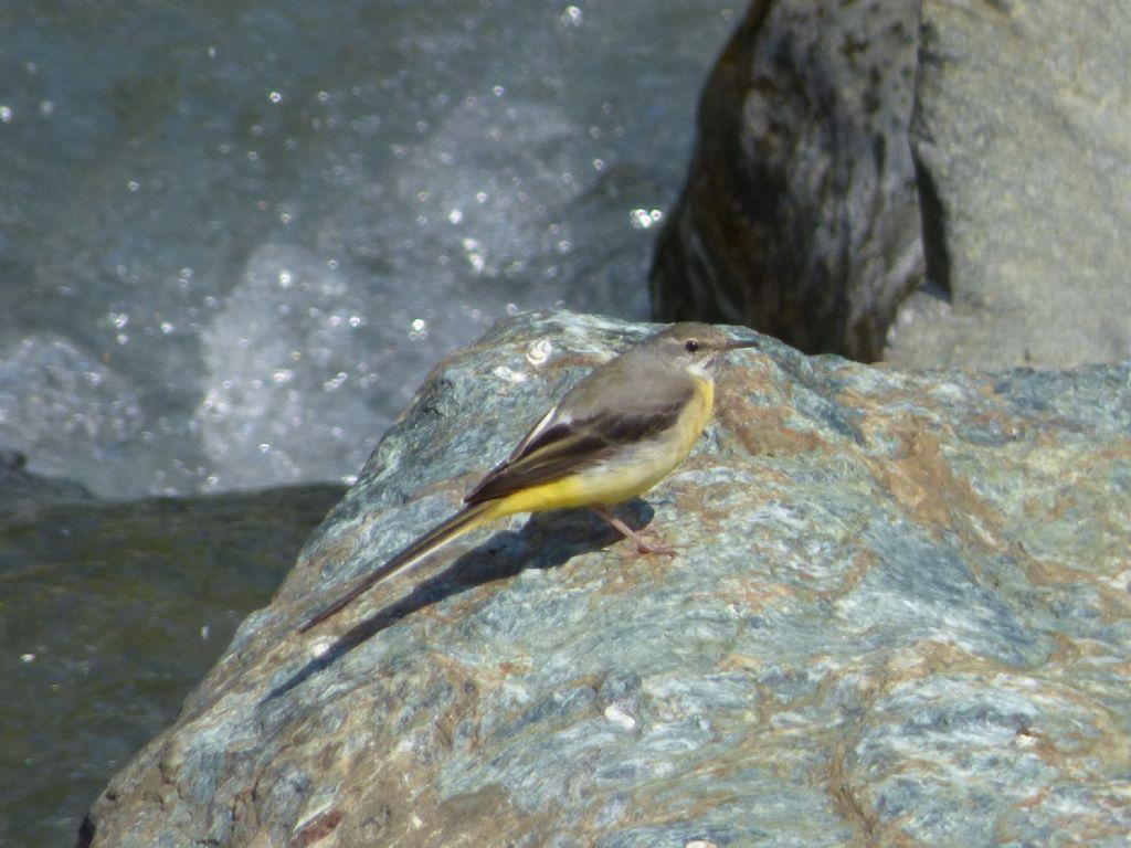 Ballerina gialla (Motacilla cinerea)