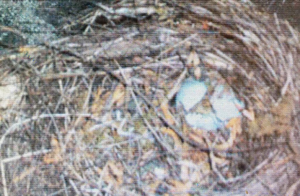 Uova di... Merlo (Turdus merula)!