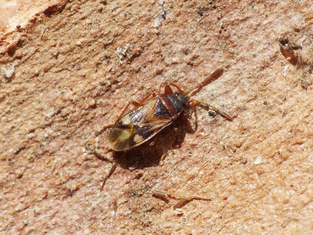 Lygaeidae: Tempyra biguttula - NUOVA PER L''ITALIA