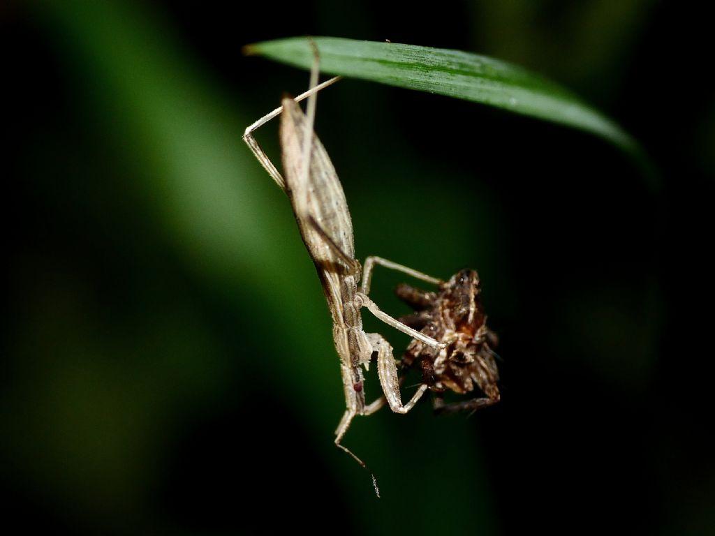Reduviidae: Sastrapada baerensprungli, predatori di ragni