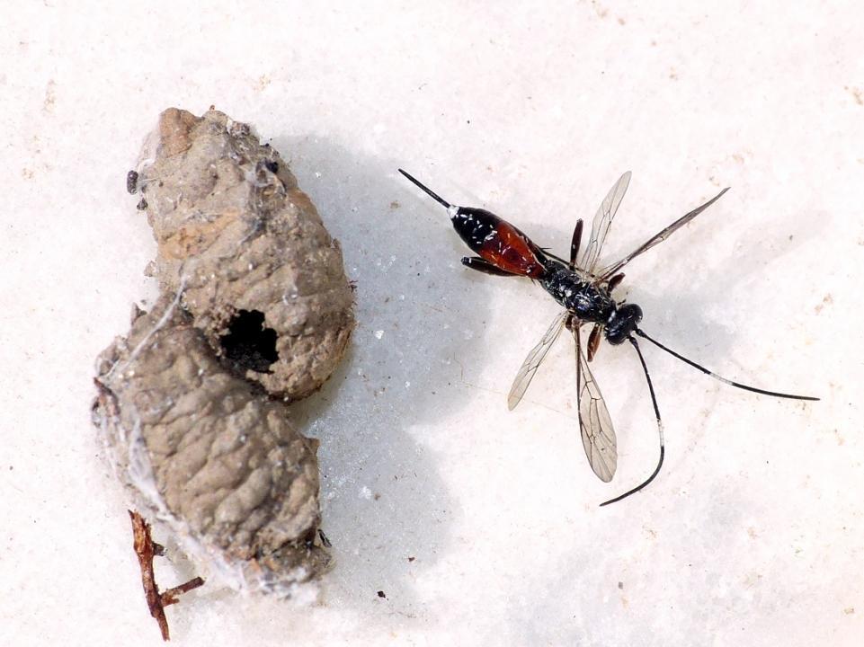 Pompilidae e Ichneumonidae suo parassitoide