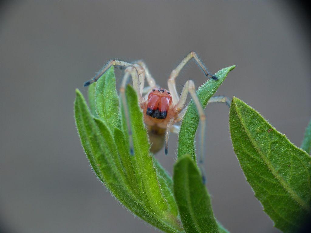 Carrellata di Cheiracanthium punctorium