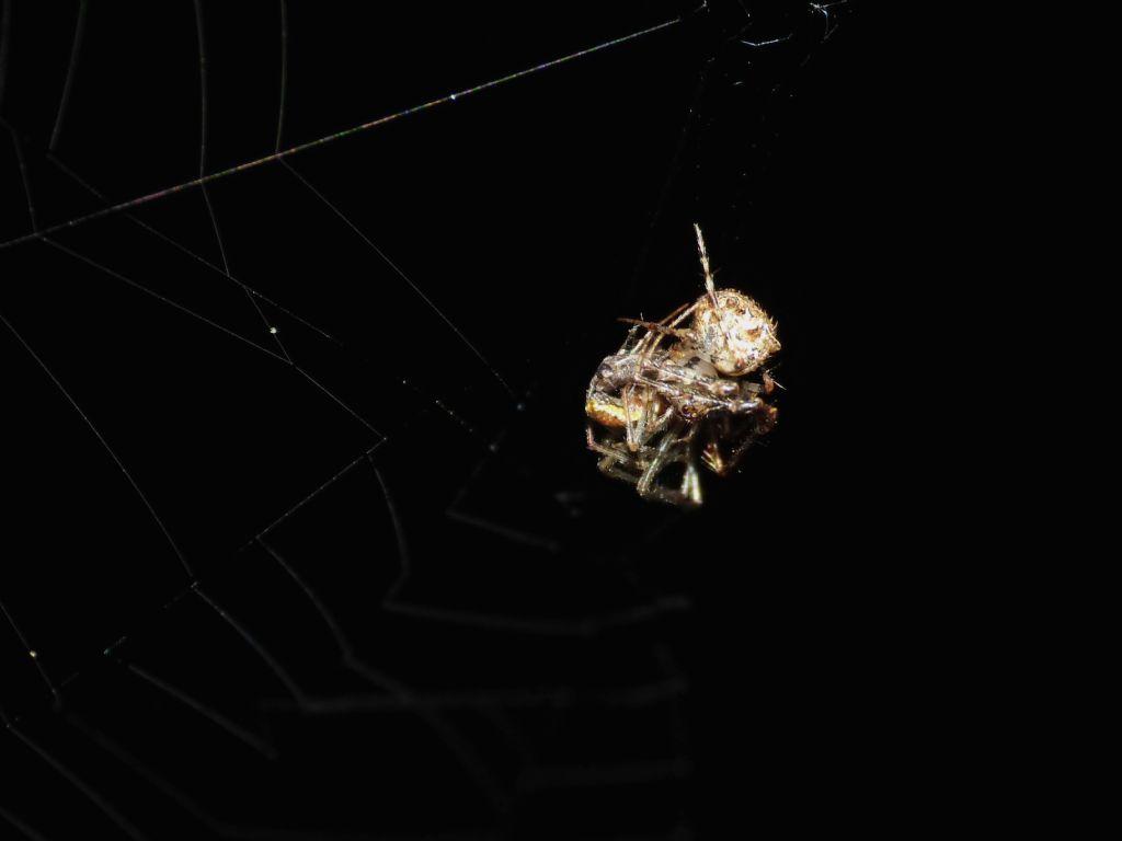 Ero aphana, minuscolo predatore di altri ragni