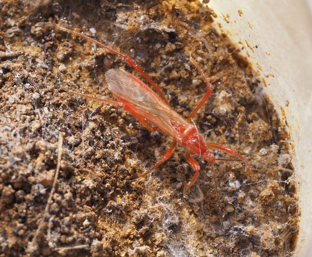 Reduviidae nuovo per N-Italia: Polytoxus sanguineus