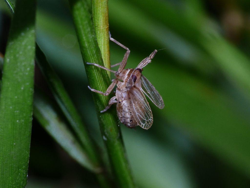 Delphacidae?