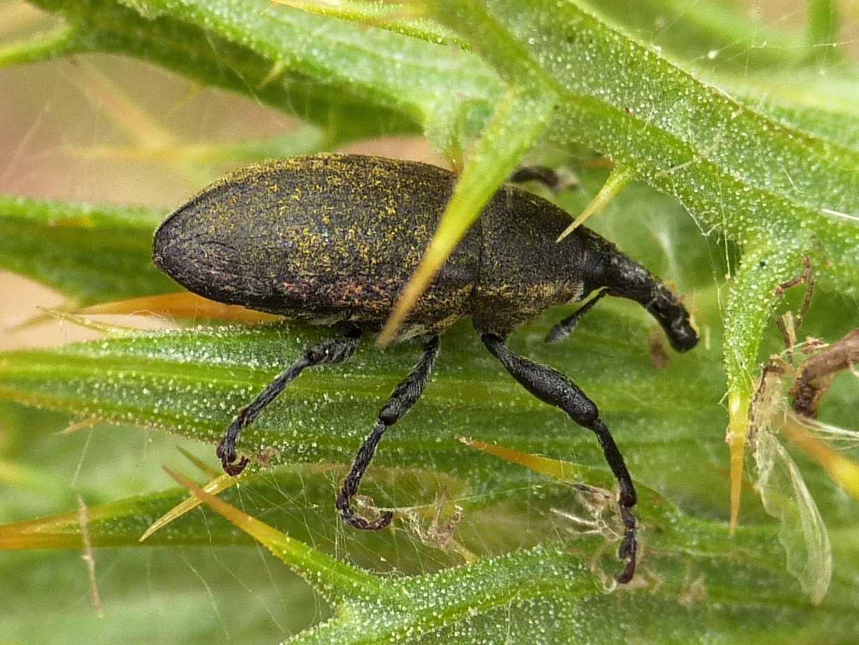 Curculionidae su cardo non il solito larinus forum for Non e il solito brodo