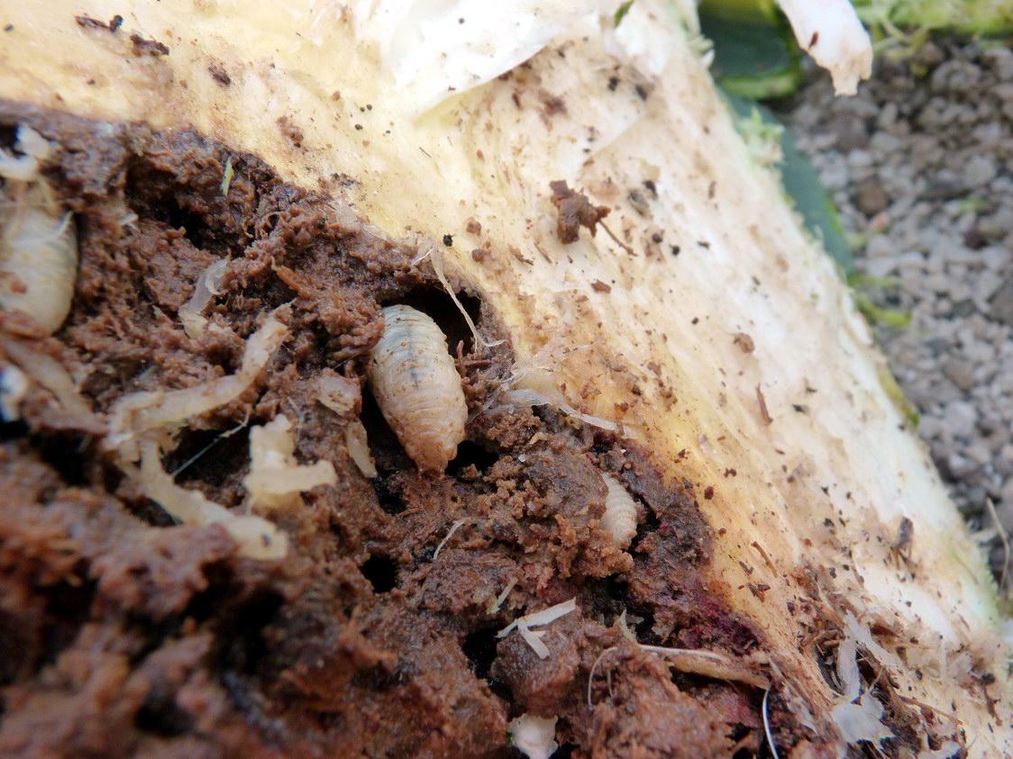 Scyphophorus acupunctatus (Punteruolo nero dell''agave)