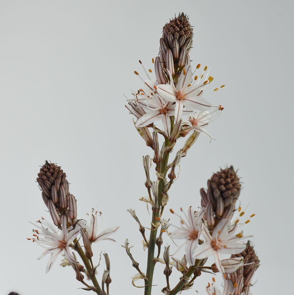 Asphodelus ramosus (Asphodelaceae)