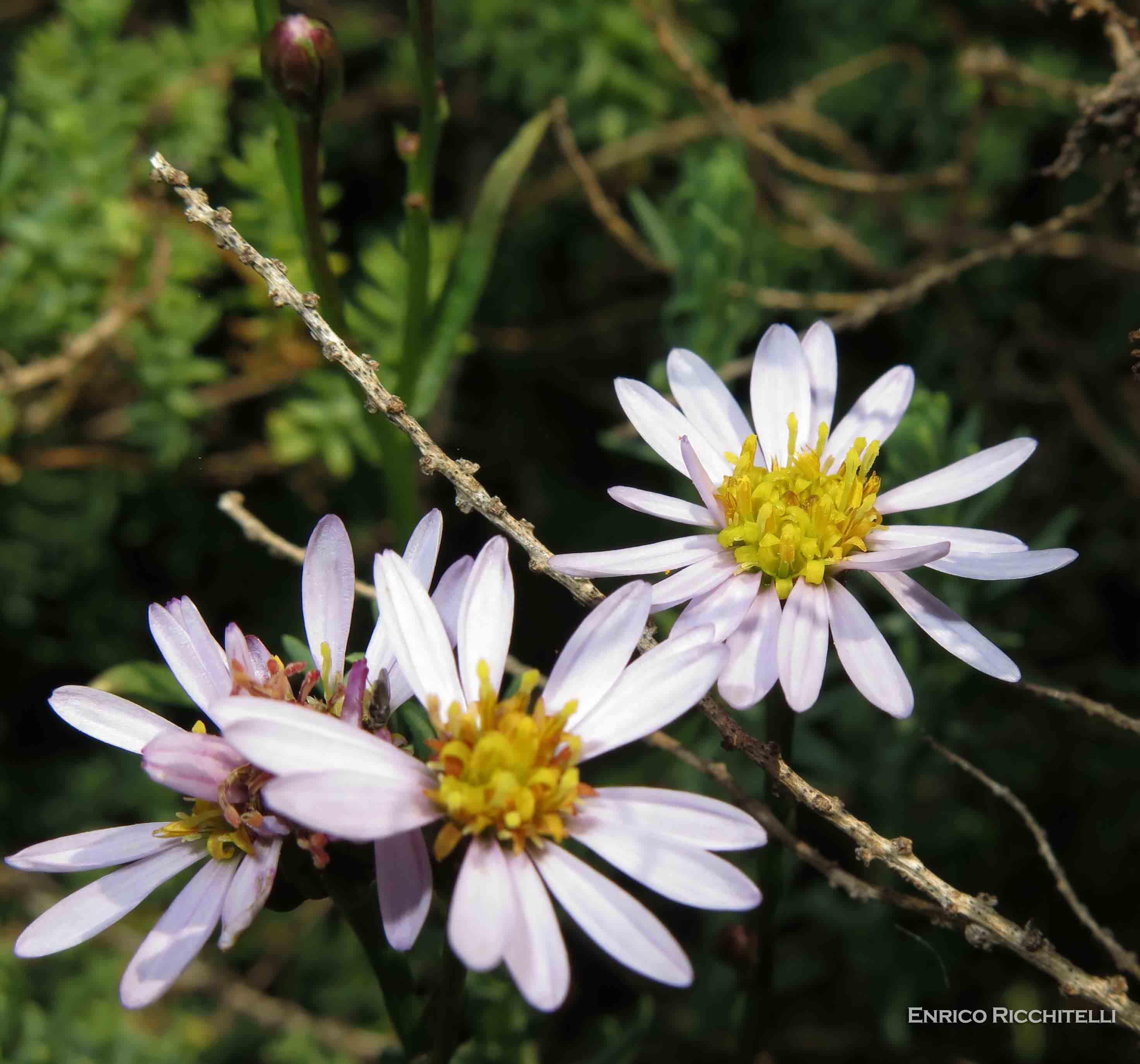 Galatella pannonica (=Aster tripolium) / Astro marino