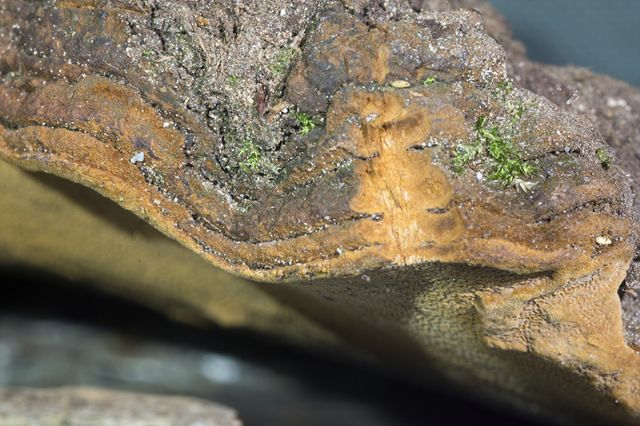 Phellinus sp.(Fuscoporia wahlbergii)