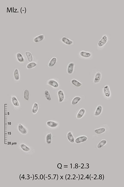 On Acacia melanoxylon (Mycoacia nothofagi)