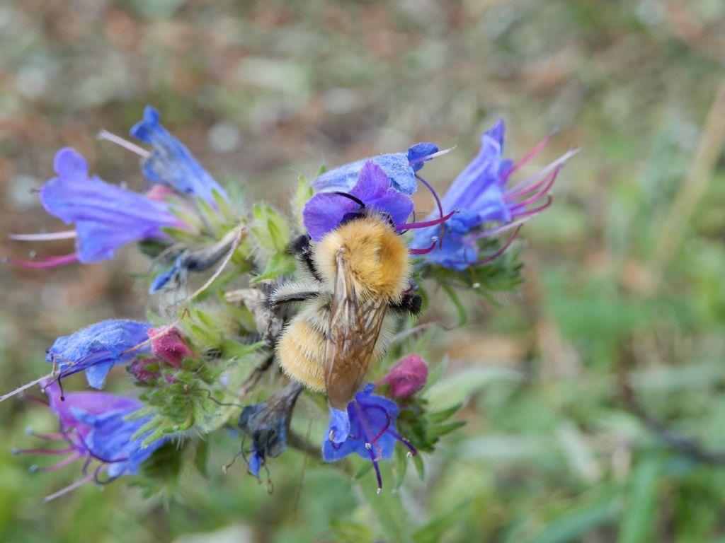 Apidae: Bombus pascuorum pascuorum, maschio