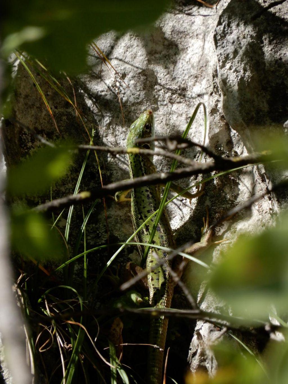 Lacerta bilineata (Ramarro occidentale), femmina